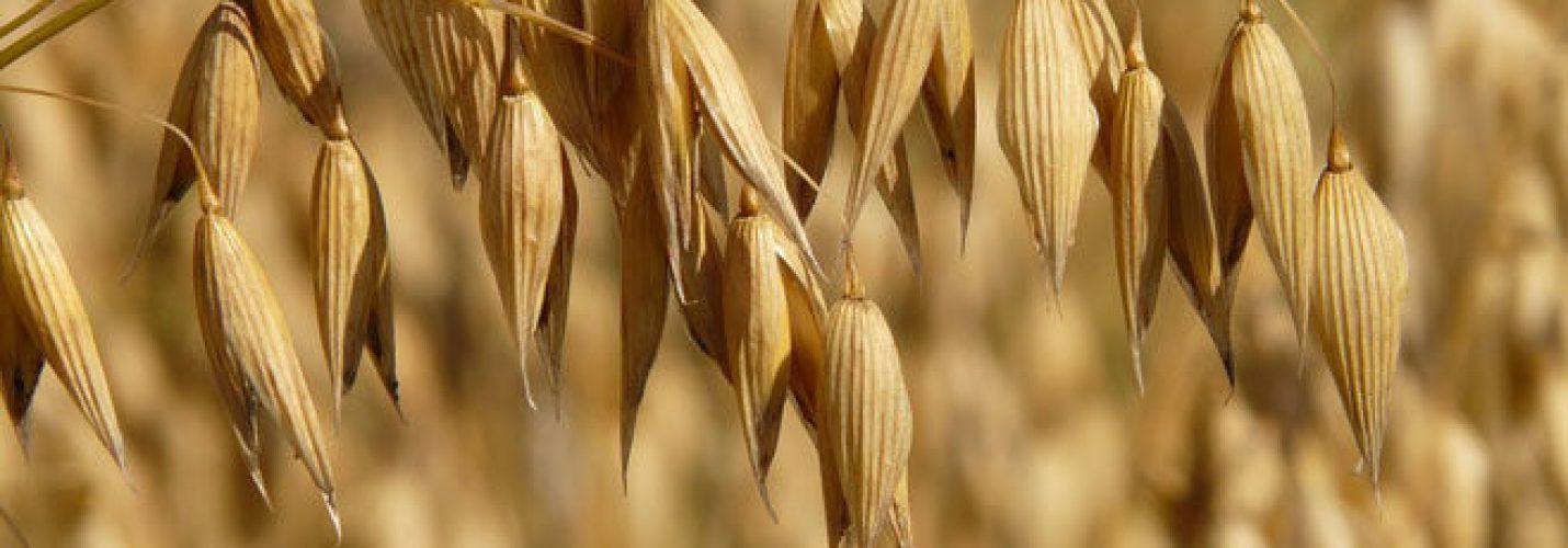 Owies, Płatki Owsiane i Więcej – Jedz Aby Zachować Dobre Zdrowie